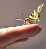 Borboleta Papilio em uma mão Fotografia de Stock Royalty Free