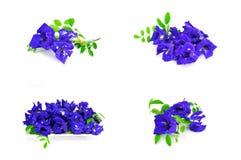 Borboleta Pea Flower Imagem de Stock Royalty Free