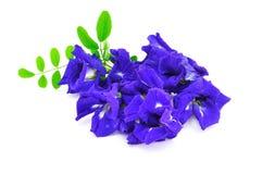 Borboleta Pea Flower Fotografia de Stock Royalty Free