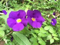 Borboleta Pea Flower Foto de Stock