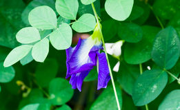 Borboleta Pea Flower Imagem de Stock