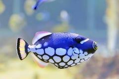 Borboleta-peixes coloridos em um aquário Imagens de Stock