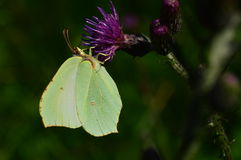 A borboleta pendurou da parte inferior à flor um a manhã do verão Fotografia de Stock Royalty Free