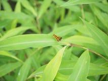 borboleta pequena Imagem de Stock