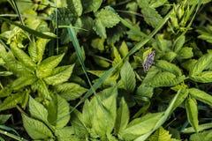 A borboleta pequena na folha verde goutweed ordinário, fundo imagens de stock
