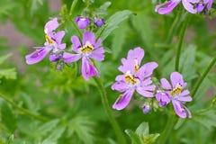 Borboleta pequena, pinnatus de Schizanthus Foto de Stock Royalty Free