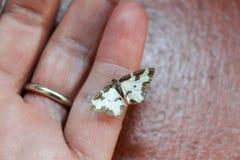 Borboleta pequena que descansa no dedo da mão imagem de stock