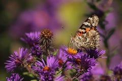 borboleta pintada da senhora fotos de stock royalty free
