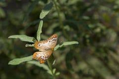 borboleta pintada da senhora Foto de Stock
