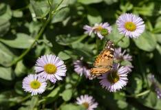 borboleta pintada da senhora Imagens de Stock