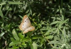 borboleta pintada da senhora Fotografia de Stock Royalty Free