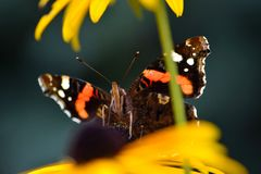 borboleta pintada da senhora Fotos de Stock
