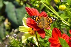 Borboleta pintada da senhora, cardui de Vanessa, na flor vermelha da dália Fotografia de Stock Royalty Free