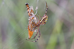 A borboleta pobre ainda resiste, mas o she& x27; s já condenado Fotos de Stock Royalty Free