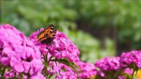 A borboleta poliniza a flor cor-de-rosa no fundo verde vídeos de arquivo