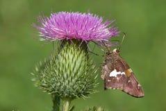 borboleta Prata-manchada do capitão no cardo Fotos de Stock