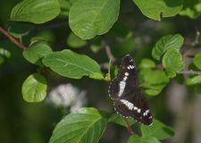 A borboleta preta imagens de stock royalty free
