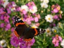 Borboleta preta & alaranjada delicada que senta-se na flor violeta lilás Imagens de Stock