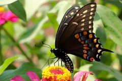 Borboleta preta de Swallowtail fotos de stock royalty free