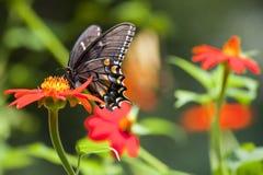 Borboleta preta de Swallowtail fotografia de stock