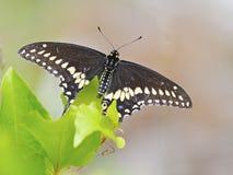 Borboleta preta de Swallowtail foto de stock royalty free