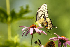 Borboleta preta de Swallowtail imagens de stock royalty free