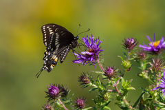 Borboleta preta de Swallowtail Imagem de Stock Royalty Free