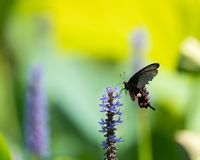 Borboleta preta de Swallowtail na flor imagens de stock