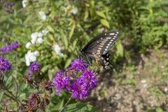 Borboleta preta de Swallowtail na flor roxa em um jardim do outdorr imagem de stock
