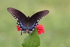Borboleta preta de Swallowtail no jardim imagem de stock