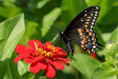 Borboleta preta de Swallowtail no jardim imagem de stock royalty free
