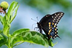 Borboleta preta de Swallowtail (polyxenes de Papilio) imagem de stock