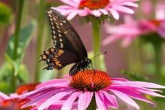 Borboleta preta de Swallowtail - polyxenes de Papilio imagem de stock