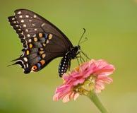 Borboleta preta de Swallowtail que alimenta na flor fotos de stock