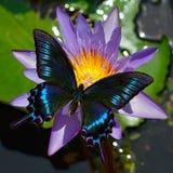 Borboleta preta do maackii do swallowtail ou do papilio em um lírio de água foto de stock