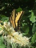 Borboleta preta e amarela bonita na planta branca Foto de Stock