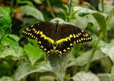 Borboleta preta e amarela masculina de Swallowtail imagem de stock royalty free