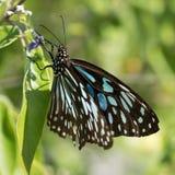 Borboleta preta e azul que senta-se nas folhas verdes fotos de stock royalty free