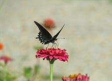 Borboleta preta na flor vermelha fotografia de stock royalty free