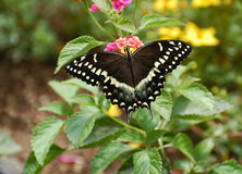 Borboleta preta oriental de Swallowtail foto de stock