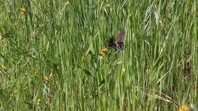 Borboleta preta que vibra sobre o movimento lento do campo verde filme