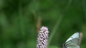 A borboleta preto-veou o crataegi branco de Aporia voa aos officinalis bistortos europeus de Bistorta floresce, movimento lento vídeos de arquivo