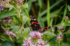 Borboleta que alimenta na flor Imagens de Stock