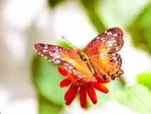 Borboleta que alimenta na flor Imagem de Stock