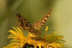 Borboleta que alimenta na flor amarela Imagem de Stock