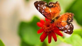 Borboleta que alimenta na flor no aviário Fotografia de Stock Royalty Free