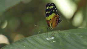 Borboleta que alimenta na folha (Heliconiinae) video estoque