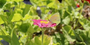 Borboleta que come na flor cor-de-rosa, baía de Ieranto, Massa Lubrense, Itália fotos de stock