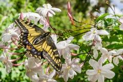 Borboleta que descansa em flores do jasmim, Califórnia de Anise Swallowtail fotografia de stock