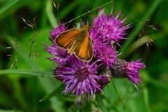 A borboleta que recolhe o pólen em uma flor selvagem roxa na flor Imagens de Stock